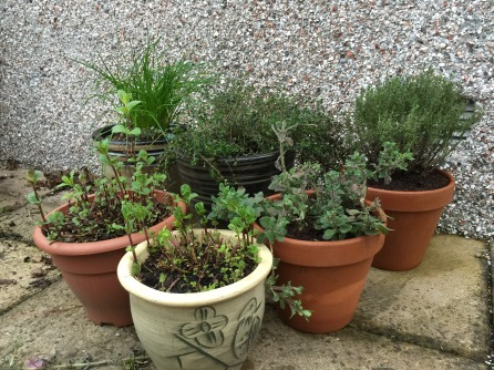 Herbs potted up and looking tidy