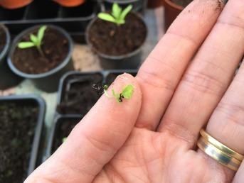 teeny, tiny seedling
