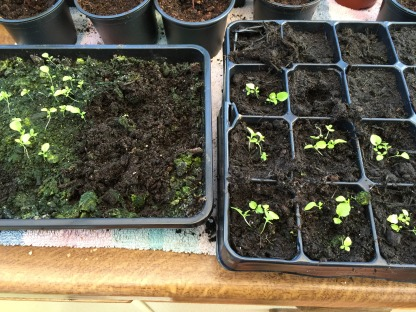 pricking out lobelia is tricky!