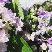 Hydrangea - 'popcorn blue' on the right!