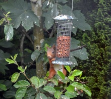 squirrel-on-feeder